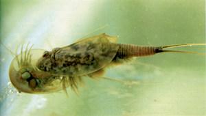 El crustaci conegut amb el nom de tortugueta. Foto: Josep M. Barres / <em>Història Natural dels Països Catalans</em>.