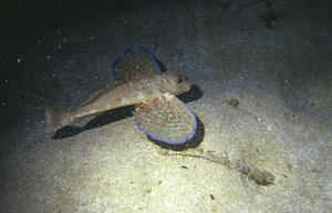 Peix de la família dels tríglids, amb gran desenvolupament de les aletes pectorals. Foto: Rainer Klingner.