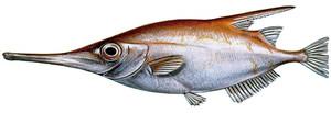 Un trompeter (<em>Macrorhamphosus scolopax</em>), peix de la família dels macrdoramfòsids. Dibuix: Carlos Moreno / <em>Història Natural dels Països Catalans</em>.