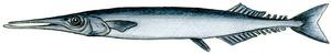 Dibuix de Núria Valverde Costa del peix <em>Scomberesox saurus saurus</em>, conegut com a trumfau. Dibuix: Núria Valverde Costa.