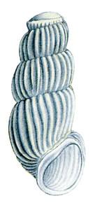 Dibuix d´un caragol de la fam&iacute;lia dels truncat&egrave;l&middot;lids. Dibuix: Cristian R. Altaba / <em>Hist&ograve;ria Natural dels Pa&iuml;sos Catalans</em>.