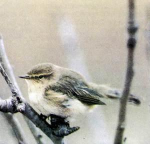 Un ull de bou, petit ocell del gènere Phylloscopus. Foto: Albert Montori / <em>Història Natural dels Països Catalans</em>.