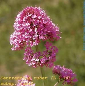 Flor d´una valeriana (<em>Centranthus ruber</em>). Foto: Herbari Virtual de la UIB.