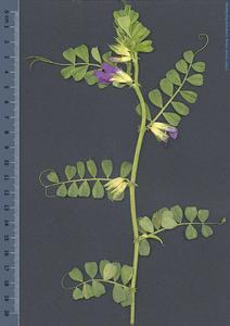 Planta i flor de la veça, lleguminosa cultivada a les Pitiüses. Foto: Herbari Virtual de la UIB.