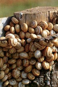A l´esquerra, vellarenc. Aquestos gasteròpodes acostumen a viure, a l´estiu, apinyats sobre puntals i estaques. Foto: Lluís Dantart / <em>Història Natural dels Països Catalans</em>.