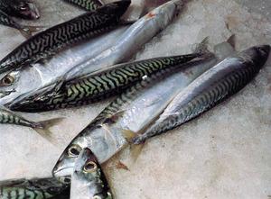 El peix blau anomenat verat (<em>Scomber scombrus</em>), ben present a aigües pitiüses. Foto: Jordi Vidal / <em>Història Natural dels Països Catalans.</em>
