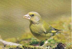 L´ocell de la família dels fringíl·lids conegut com a verderol (<em>Carduelis chloris</em>). Foto: Oliver Martínez.