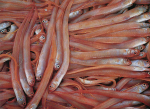 Exemplars del peix conegut com a veta, caracteritzat pel seu cos comprimit i llarg. Foto: AISA / <em>Història Natural dels Països Catalans.</em>