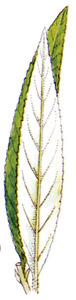 Fulla de la planta coneguda com a vime. Dibuix: Eugeni Serra / <em>Història Natural dels Països Catalans</em>.