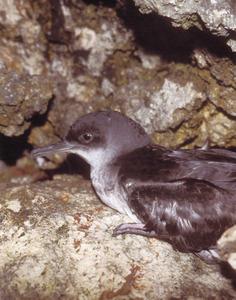 Un virot, ocell marí que únicament va a terra per reproduir-se, dins coves d´illots i en penya-segats. Foto: David García / <em>El parc natural de ses Salines...</em>