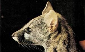 Una geneta, mamífer de la família dels vivèrrids.
