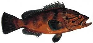Dibuix del peix de la família dels serrànids, similar a l´anfós, que a les Pitiüses es coneix amb el nom de xerna. Extret de <em>Peixos de les illes Balears</em>.