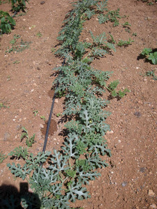 Imatge de la planta de la família de les cucurbitàcies coneguda com a xíndria o xindriera. Foto: Raquel González Dunford.