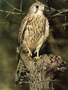 Un xoriguer (falco tinnunculus), au rapinyaire de la família dels falcònids. Foto: Tony Tilford-Index / <em>Història Natural dels Països Catalans</em>.