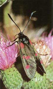 <em>Zygaena lonicerae</em>, insecte de la família dels zigènids. Foto: Enric Curto / <em>Història Natural dels Països Catalans</em>.