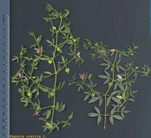 Detall d´una de les tres plantes de la fam&iacute;lia de les zigofil&middot;l&agrave;cies que es consideren aut&ograve;ctones a les Piti&uuml;ses: roseret o roseret de la Mare de D&eacute;u (<em>Fagonia cretica</em>). Foto: <em>Herbari Virtual de la UIB</em>.