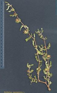 Detall d´una altra de les tres plantes de la fam&iacute;lia de les zigofil&middot;l&agrave;cies que es consideren aut&ograve;ctones a les Piti&uuml;ses: obri&uuml;lls (<em>Tribulus terrestris</em>). Foto: <em>Herbari Virtual de la UIB</em>.